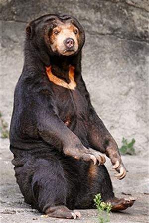 250px-Sitting_sun_bear_R_R.jpg