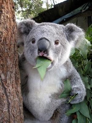 86a87b781cb2e5c95fa72adc8482c25b--koala-meme-funny-koala_R.jpg