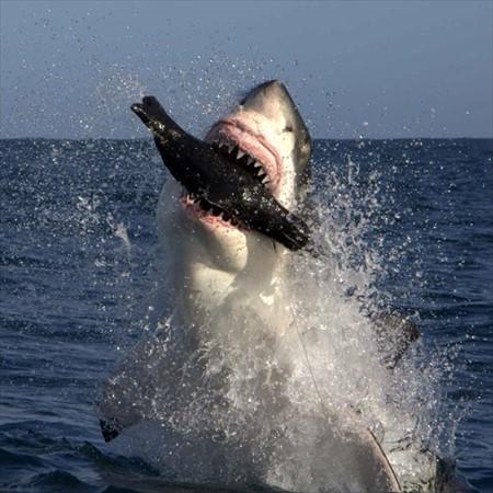 shark-seal-lure_1890783i_R.jpg